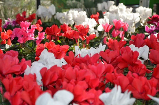 sea_of_red_cyclamen_550px