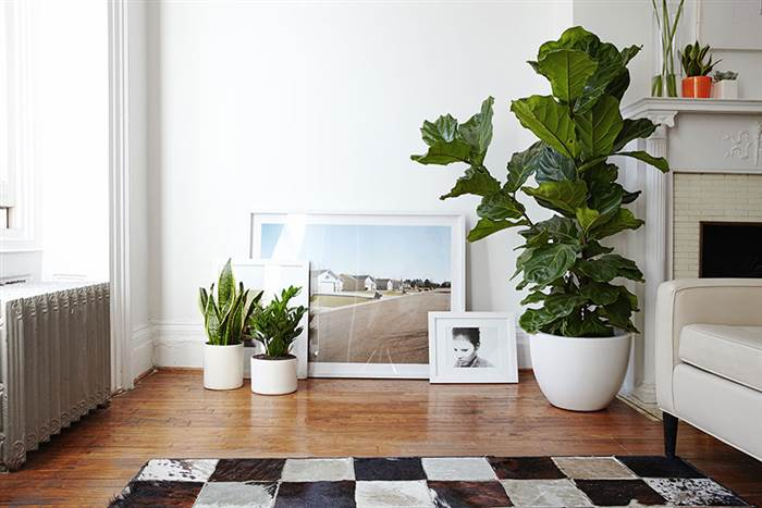 fiddle-leaf-fig-tdy-home2_ffee48f9842cf404a2f97eb7244fdf8a-today-inline-large